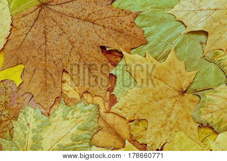 the natural textured background from maple foliage of motley spotty color