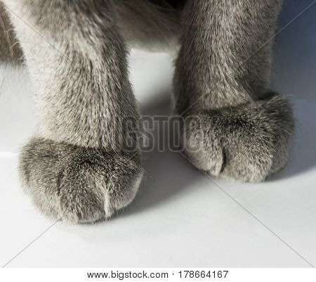 Gray cat, paws of a cat close-up, paws nearby