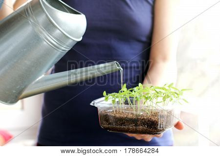 man watering small young seedling in the background window / caring for plants before planting in the garden