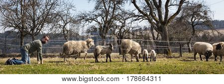 funny man kneeling behind a herd of sheeps Panorama concept integration or adaption