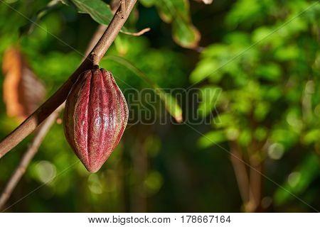 Cacao Farm Plantation