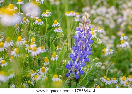Lupine flower and white flowers with green bokeh background