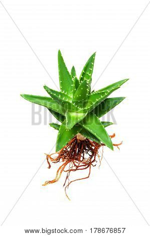Aloe vera with root isolated on white background