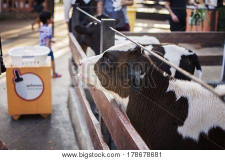 Cows in farm. Dairy cows. selective focus.