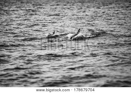 Mother dolphin and calf swimming in Moreton Bay during the day. Black and White.