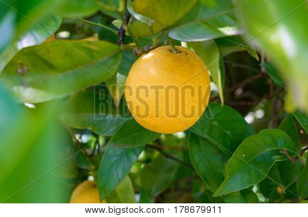 Bright Ripe Orange, Lemon On Tree Surrounded By Green Leaves
