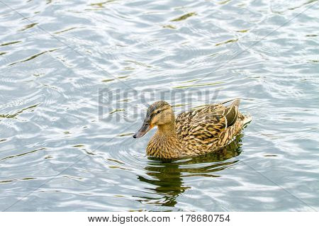 Wild Duckling Floating On A River