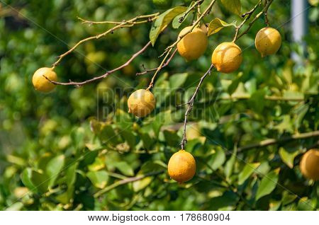 Ripe Yellow Lemons On Tree Branch