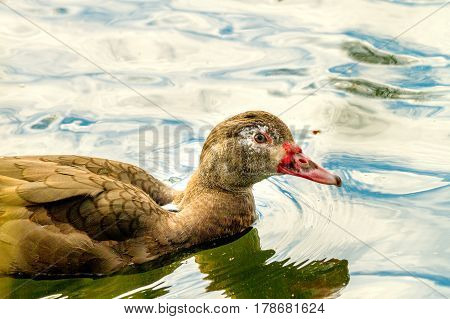 Image house duck of brown color floating on the river