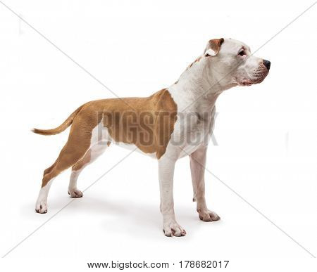 Beautiful Staffordshire Terrier dog isolated on white background