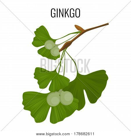 Ginkgo biloba pod with green leaves from ancient isolated on white. Vector illustration of hand drawn ayurvedic ginkgo plant. Healthy ingredient that is used in medicine for disease treatment