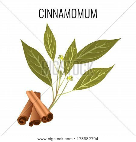 Cinnamomum cassia brown sticks and green leaves isolated on white. Tasty seasoning called Chinese cassia or Chinese cinnamon icon in flat design. Vector illustration of evergreen tree fruits.
