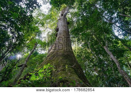 Looking Up At Giant Tropical Tree In Rainforest