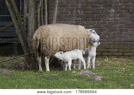 ewe in grass near barn with one lamb drinking and one cuddling