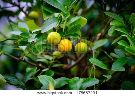 Fruits of mandarin on a branch