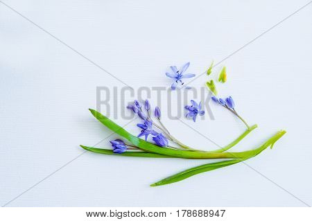 Close Up Composition Of Blue Primroses On The White Textured Background. Top View. Free Space For Te
