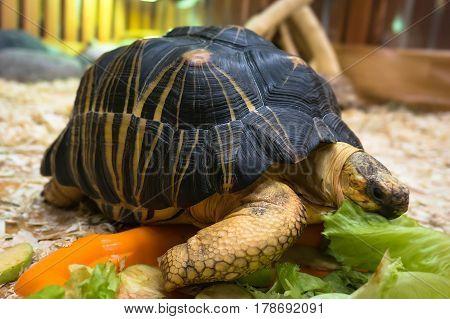 Cherry Head Red Foot Tortoise,