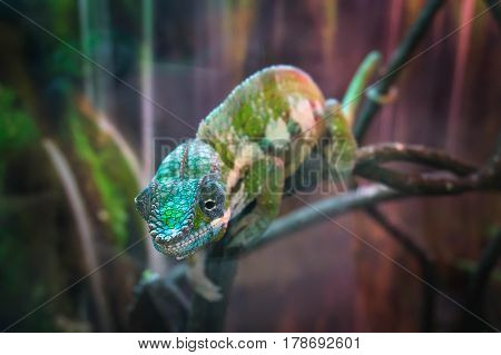 Portrait Of Adult Cone-head Chameleon On The Branch With Leaves