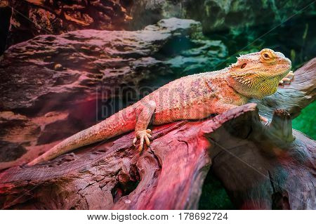 Grand Cayman Blue Iguana, An Endangered Species Of Lizard Commonly Found In The Dry Forests