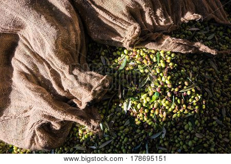 Green and black olives in sacks after harvest in Peloponnese, Greece