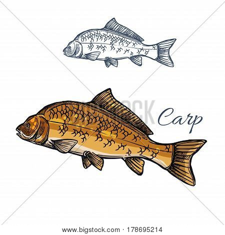 Carp fish isolated sketch. Mirror carp freshwater fish with large scale for fishing sport emblem, fish market food packaging label, seafood restaurant menu design