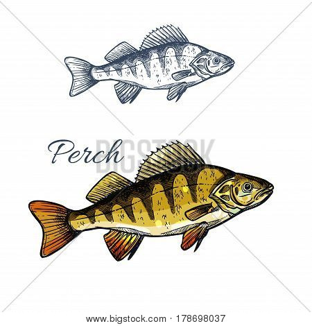 Yellow perch or bass fish sketch. Freshwater perch predatory fish isolated icon for fishing sport symbol, fish market label of seafood restaurant design