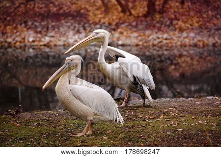 Couple of pelican birds with pink beaks near the lake in autumn park, natural background
