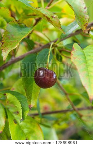 Red Cherry On A Branch Just Before Harvest In Early Summer..