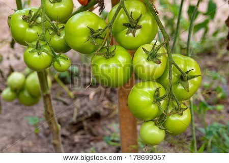 Bunch Of Green Tomatoes Ripening On The Branch In The Garden. .