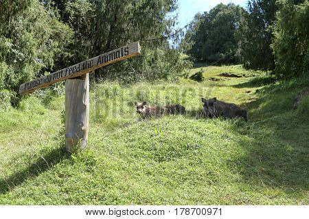 The Wild warthogs in ethiopia in Africa