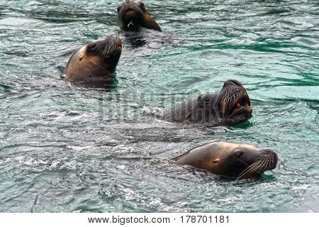 The pinnipeds seals sea animals floating in the water. Aquatic mammals seal lives mainly in the Northern and Arctic oceans.