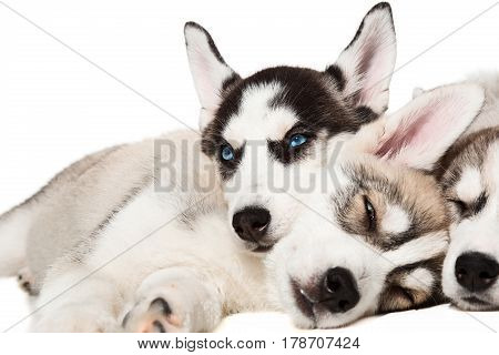 Siberian Husky puppies. Charismatic puppies on a white background. Isolated. Puppies are tired and sleeping
