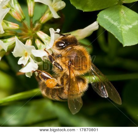 Bee Pollinating Clover