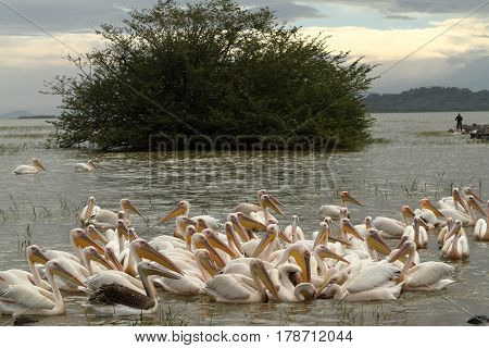 Pink pelicans on Lake Ziway in Ethiopia