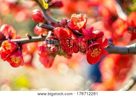 red flowers Chaenomeles japonica Japanese quince flower. Shallow depth of field