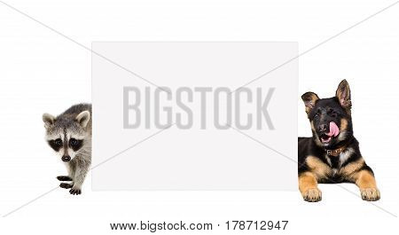 German Shepherd puppy and raccoon behind a banner, isolated on white background