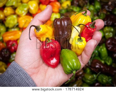 Man is holding some of the hottest chili peppers.