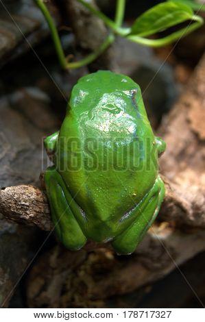 Giant Tree Frog phyllomedusa bicolor macro close up