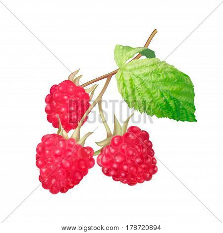 Ripe raspberry isolated on white background. Photo realistic vector illustration of three raspberry on stem