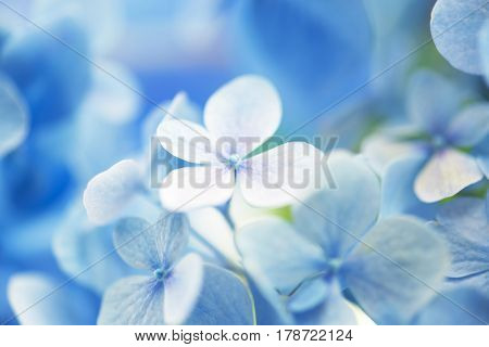 Light soft blue Hydrangea (Hydrangea macrophylla) or Hortensia flower with dew with light coming in.on center flower  Shallow depth of field for soft dreamy feel.