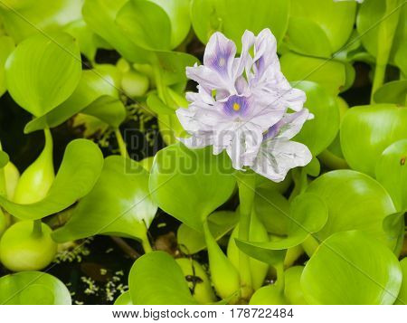 Water Hyacinth Eichhornia flowers close-up selective focus shallow DOF.