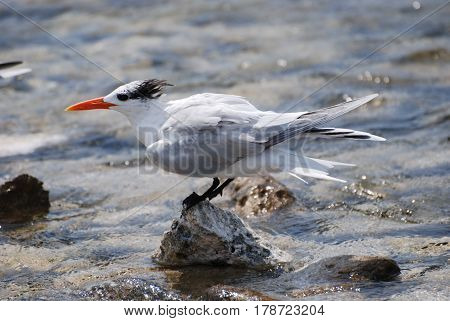 Royal tern bird on a rock jutting out of the water.