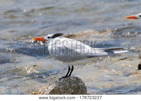 Stunning royal tern bird on a rock with water swarming around.