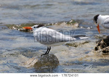 Royal terns balancing on rocks that are sticking out of the water.