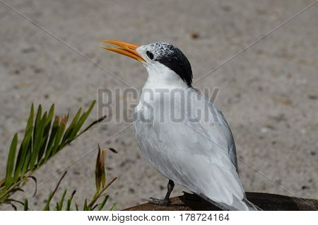 Royal tern on a beach with his beak partially open.