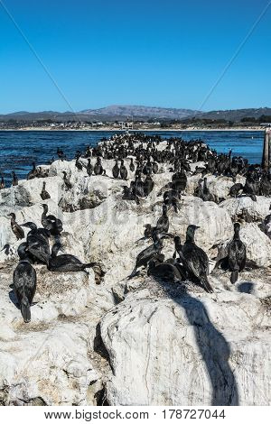 A lot of black cormorants on the pier in Monterey, California