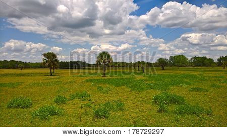 View of the steppe landscape with palm trees and grass in the Everglades in Florida USA under blue sky with cloud