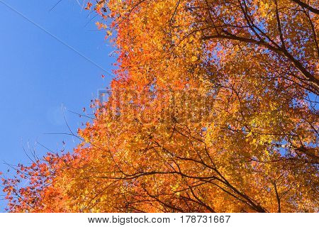 Maple tree in autumn with blue sky background