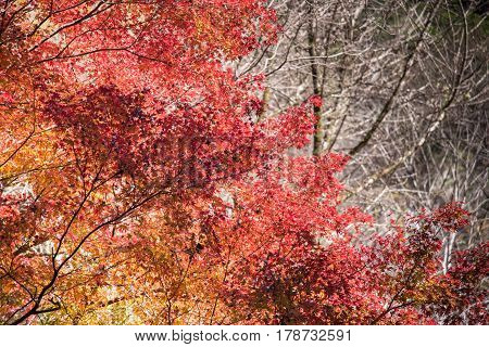 Red Maple leaf with with no leaf branch background for copy space