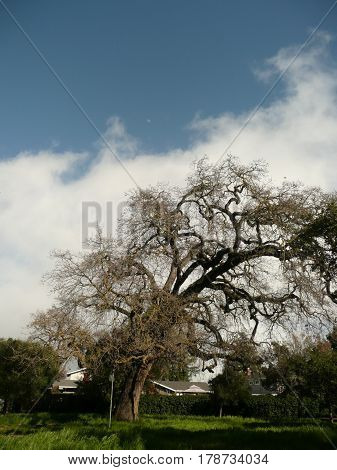 Gnarled,windblown oak tree in san Jose,dramatically bent against clouds